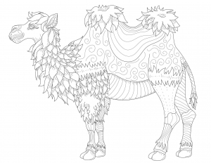 Camellos dromedarios 37