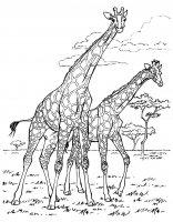 Coloriage afrique girafes