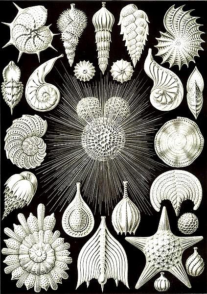 Représentation de Coquillages par Ernst Haeckl. Oeuvre considérée comme inspiratrice de l'Art nouveau