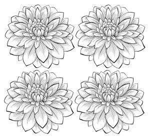 coloriage adulte quatre dahlias