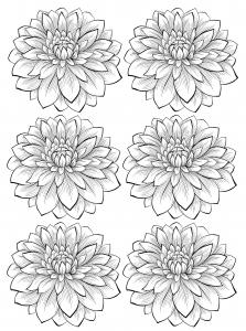 Coloriage adulte six dahlias