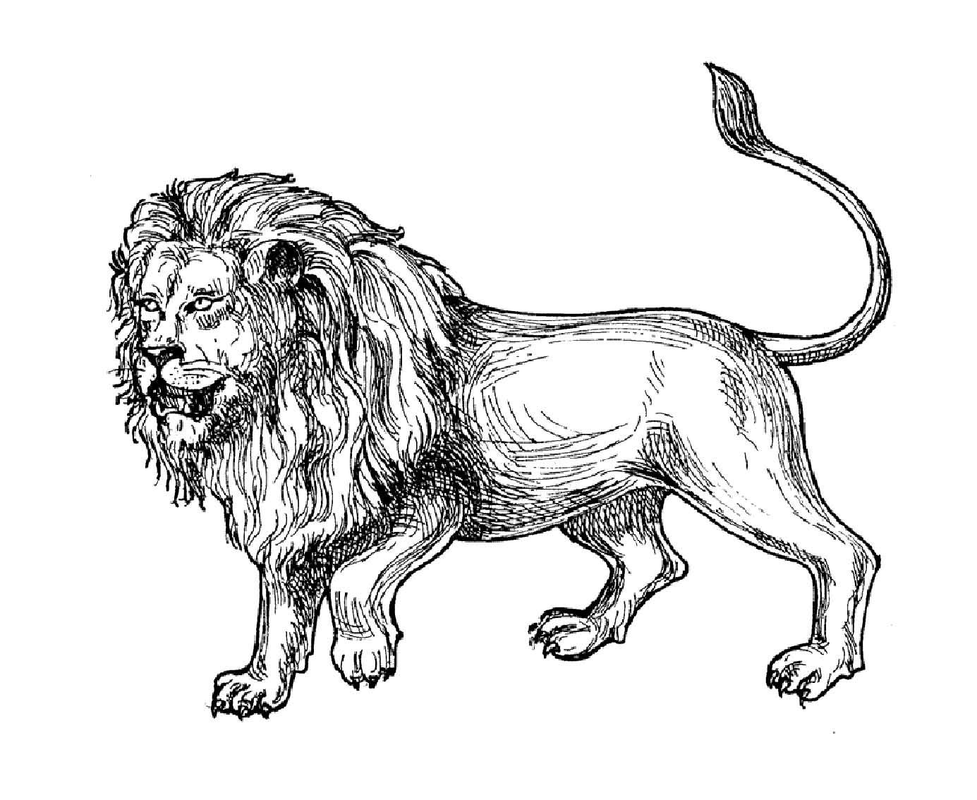 Lion d'Afrique à colorier