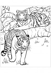 Coloring page tigers to color for children