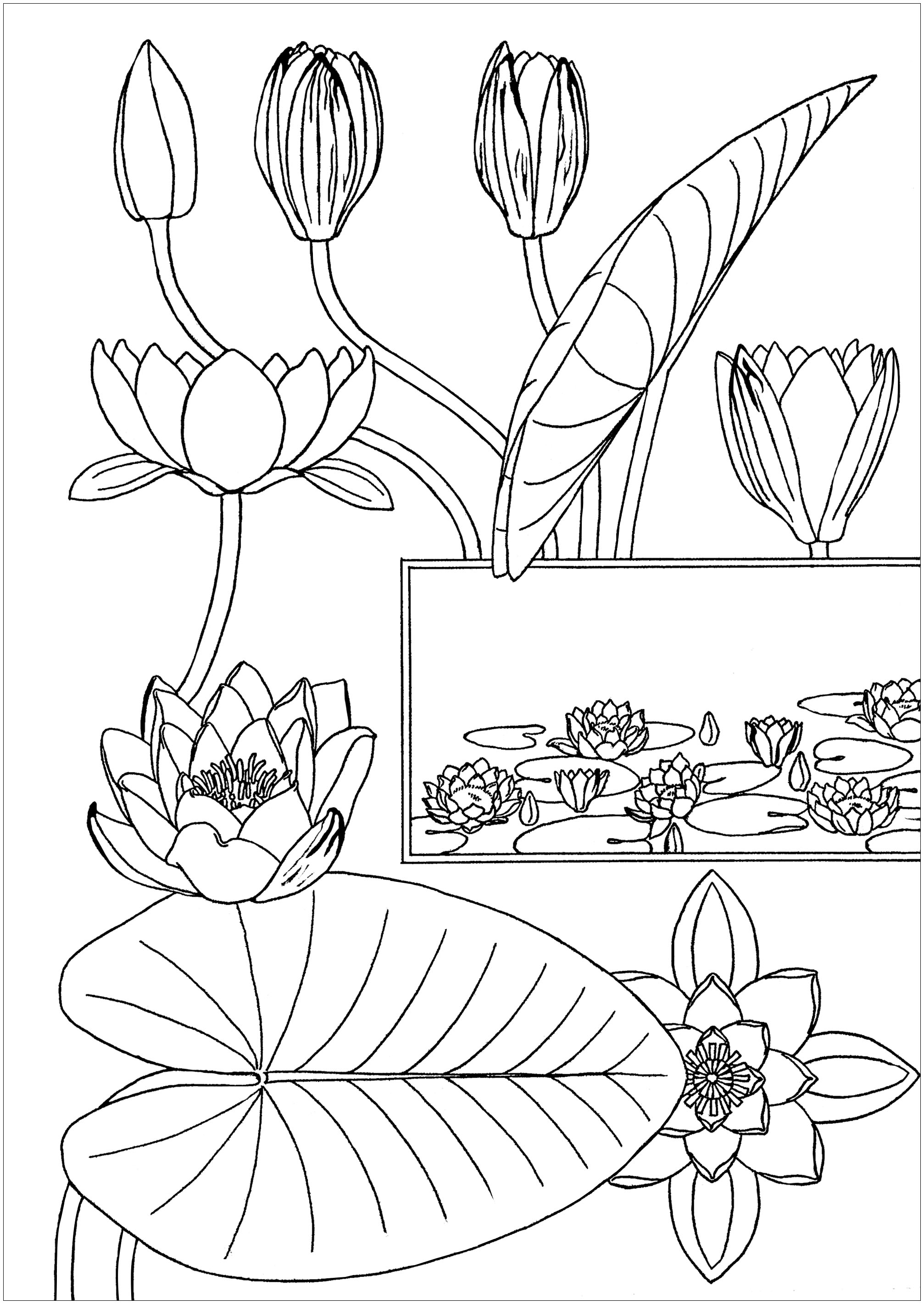 Coloring page created from an illustration by Eugene Grasset : Nénuphar (Water-Lily) (1869)
