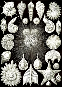 Coloring adult coquillages ernst haeckel