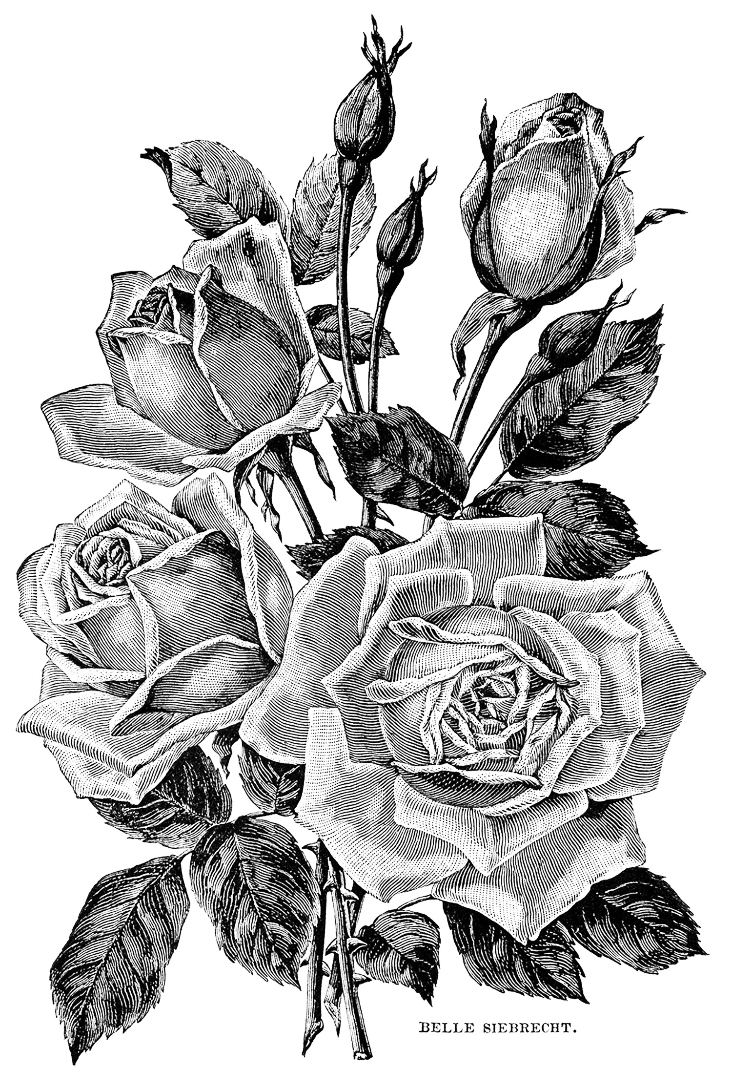 Roses. Vintage illustration.
